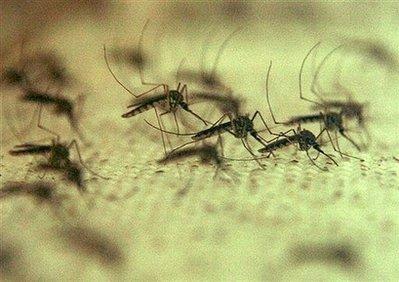 081028.mosquitos